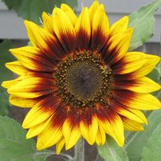 Grow Sunflowers - Plant Ring of Fire Sunflower SeedsStriking bi-colored petals that burst forth from the center in bold red, transitioning to bright yellow tips. Growing 4-6 feet tall, Ring of Fire Sunflower proudly branches out with long side stems producing several blooms per stalk. Stunning variety for the traditional gardener who wants to spice it up a bit!