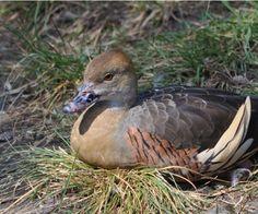 Plumed Whistling Duck. Taken at Disney's Animal Kingdom