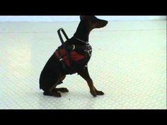 Service Dog Training Video