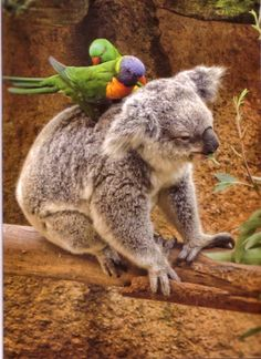 Koala and Australian parrots. A mutually beneficial pastime. The parrots eat the bugs and the koala gets relief from the biting and itching. Everybody is happy. Animals And Pets, Baby Animals, Funny Animals, Cute Animals, Baby Giraffes, Wild Animals, Australian Parrots, Funny Koala, Tier Fotos