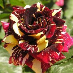 Trandafir teahibrid Abracadabra -Goods from the promotion