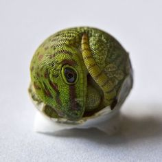 """anxiousnerdmom: """" sex-plants: """" sixpenceee: """" A photograph of a hatching gecko. Check out my Facebook 
