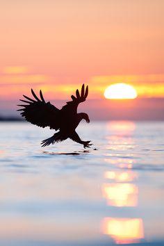 Beautiful sunset capture of a predator bird fishing. - Birds - by Sven Zacek