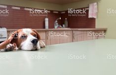 Dog in expectation of meal - Royalty-free Dog Stock Photo All Animals Images, Dog Stock Photo, Social Media Ad, Free Dogs, Video Image, Feature Film, Photo Illustration, Image Now, Textbook