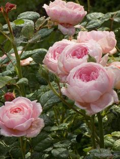 Queen of Sweden rose Exotic Flowers, Love Flowers, Wedding Flowers, Beautiful Roses, Beautiful Gardens, Queen Of Sweden Rose, Home Vegetable Garden, David Austin Roses, Pink Garden