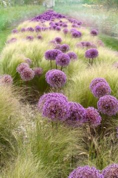 "Allium & Nasella ""Pony Tails""... fuzzy misty magic. The image is photoshopped but this look is possible. Click the photo for the Allium and the Nasella is in the following link... http://www.provenwinners.com/plants/nasella-formerly-stipa/pony-tails-mexican-feather-grass-nasella-formerly-stipa-tenuissima"
