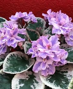 Optimara Little Moonstone   2 Blätter//2 leaves  African Violet Usambaraveilchen