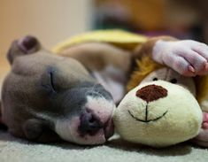puppy pit-bull napping