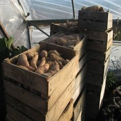 How to Cure Sweet Potatoes - Homesteading and Livestock - MOTHER EARTH NEWS