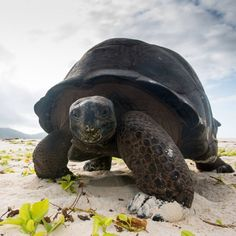 Aldabra giant tortoise found on Cousin Island, Seychelles • ©James Warwick Wildlife Photos 7.25.2014