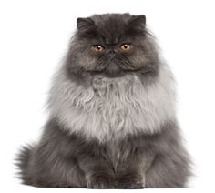 a href=http://www.shutterstock.com/pic.mhtml?id=74571487Persian cat/a by Shutterstock.