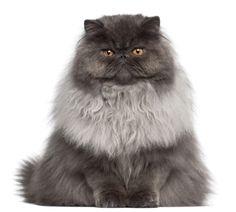 a href=http://www.shutterstock.com/pic.mhtml?id=74571487Persian cat/a by Shutterstock.