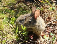 A Bunny's Tale: Protecting New England Cottontail Habitat on Cape Cod - http://scienceblog.com/77622/a-bunnys-tale-protecting-new-england-cottontail-habitat-on-cape-cod/
