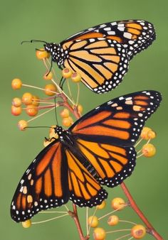 I like monarchs.