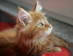 Photos and biography of Samson the kitten(s) of the day on January Orange And White Cat, White Cats, Orange Tabby Cats, Red Cat, Ginger Cats, I Love Cats, Beautiful Babies, Kitty, Cute