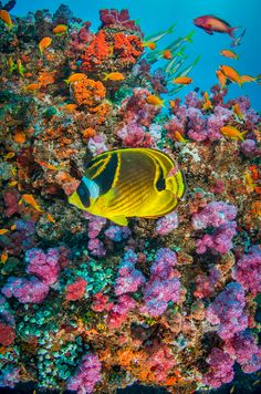 Stock Photo : Raccoon butterflyfish (Chaetodon lunula) hover above colourful coral reef surrended by Sea goldies (Anthias squamipinnis), Sodwana bay, Indian Ocean, South Africa