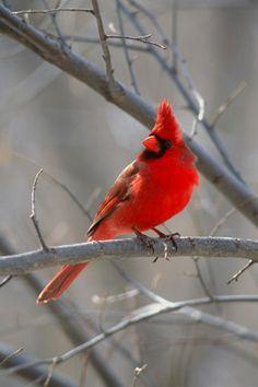Northern Cardinal  Platte River, Nebraska