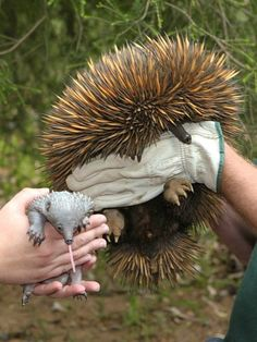 I did NOT know about this cool little animal........until today.   :-)  Echidnas.  Mother and baby (known as a puggle).  This is one of 2 puggles born at Perth Zoo.  These puggles represent the first zoo-born Echidnas ever.  Interesting little animals.