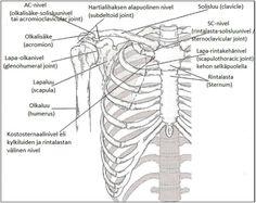 Kuva 1. Olkapään nivelet ja luiset rakenteet