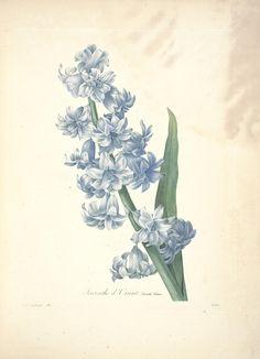 """From """"Choix des plus belles fleurs :et des plus beaux fruits"""" by  Redouté, Pierre Joseph, 1759-1840 / Biodiversity Heritage Library"""