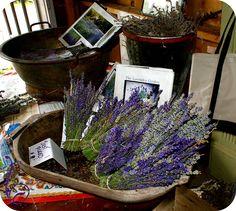 Cape Cod Lavender Farm