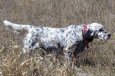 English Setter Hunting | belton_english_setter051008.jpg