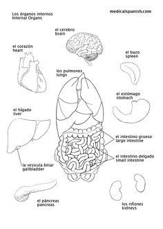 Human body organs intestines tempat untuk dikunjungi pinterest spanish for nurses the vital organs ccuart Gallery