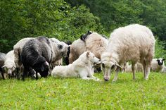 Sheer sheep and other furry animals in the spring | Keeping Your Barn Animals Cool for the Summer | Homesteading Tips For Summer Preparedness