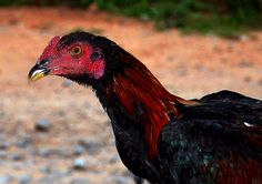 rooster by Samuel Johnson on 500px