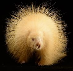 photo by @joelsartore | Pumpkin or porcupine? Meet Halsey an female albino porcupine being nursed back to health by Nebraska Wildlife Rehab in Louisville NE. NWR saves the lives of thousands of injured animals each year including this one who was hit by a car a few months ago but is expected to make a full recovery. See http://ift.tt/1NJ2if4 to learn more and Happy #Halloween! #Follow me at @joelsartore to see more members of the #PhotoArk. #photooftheday #joelsartore by natgeo