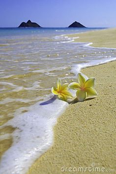 Hawaiian plumeria and wave | Two plumeria blossoms on a sandy beach by the waters edge in Hawaii