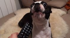 TOO Funny!! This Boston Terrier is Howling with the Phone Beep Noise! Watch ► http://www.bterrier.com/?p=27504