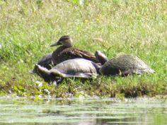 Marllard Duck and turtles