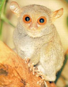 Tarsier, one of the most rare animals of the world. Thanks to my friend I learned that their eyes weigh more than their head and when they get stressed they kill themselves.