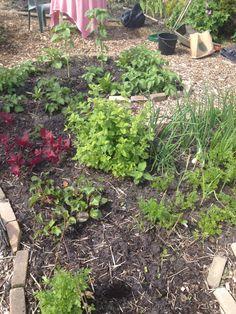 1 juni Aardappel, rode melde , citroenmelisse, zonnebloemen, knoflook, uien, wortel, bietjes etc