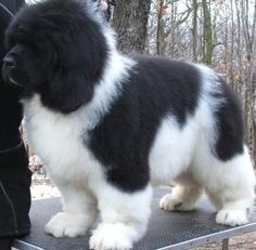 Newfoundland puppy ♥♥ this looks like Tiny when he was a pup!!!! LOVE!!!