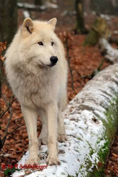 The wolf is my favorite animal, and also happens to be my Native American totem animal =)