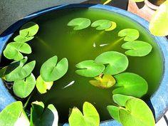 aquatic plant/ garden/ fish