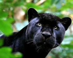 Big Wild Cats | images of panther for joanne animal big black eyes forest nature photo ...