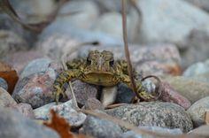 Toad Toad, Wildlife, Photos, Animals, Pictures, Animales, Animaux, Animal, Animais