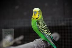 Budgie Parakeet, Budgies, Budgerigar Bird, Sound Proofing, Bird Cage, Parrot, Birds, Swings, Bird