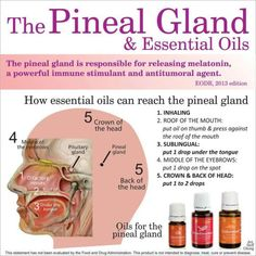 Young Living Essential Oils: Melatonin Pineal Gland ~ There are various methods to cleanse the pineal gland, from various supplements to psychedelic plant medicines such as iboga. Essential oils can also be used to help detox and stimulate the pineal gland, which is responsible for releasing the substance melatonin and is believed to be involved in reaching higher levels of consciousness. Cedarwood Frankincense Sandalwood