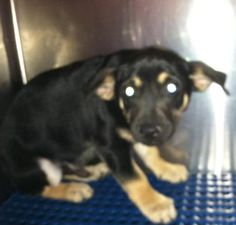 Unknown Outcome  Animal ID35537610  SpeciesDog  BreedChihuahua, Short Coat/Mix  Age8 months 2 days  GenderMale  SizeMedium  ColorBlack/Brown  SiteDepartment of Animal Services, City of El Paso  LocationSally Port  Intake Date6/2/2017