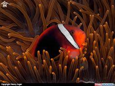 Henry Jager  Tomato Anemonefish