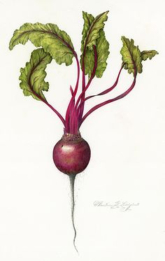 ***Favorite illustration of beet in vertical placement - Leaves and beet - really like the details in the part between beet and leaves Botanical Tattoo, Botanical Drawings, Botanical Flowers, Botanical Prints, Vegetable Illustration, Plant Illustration, Botanical Illustration, Vegetable Drawing, Vegetable Painting