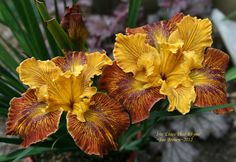 Full size picture of Pacific Coast Iris 'Lines That Rhyme' (Iris)