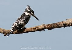 Pied Kingfisher - with thanks to Jason Waine for sending us the pictures after he returned home from his Extreme Nature Tour with Antons Africa African Safari, Kingfisher, Bird Species, Bird Feathers, Beautiful Birds, Bald Eagle, South Africa, Freedom, Southern