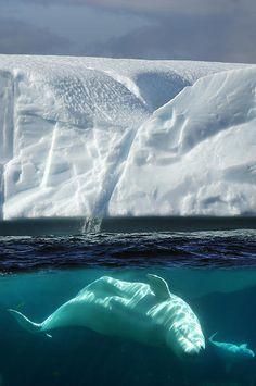 Under the vast blue seas...   #Beluga #Whale by Christian Heeb