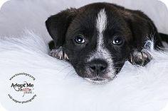 Cincinnati, OH - Labrador Retriever/Boxer Mix. Meet Thor, a puppy for adoption. http://www.adoptapet.com/pet/15989232-cincinnati-ohio-labrador-retriever-mix