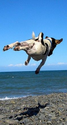 Jack Russell in flight, boy can those dogs jump! Jack Russell Terrier, Chien Jack Russel, Jack Russell Dogs, Rat Terriers, Fox Terrier, I Love Dogs, Cute Dogs, Funny Animals, Cute Animals
